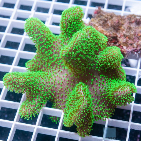 "Sarcophyton sp. -   Neon Toadstool Leather - 4-5"" Stock"