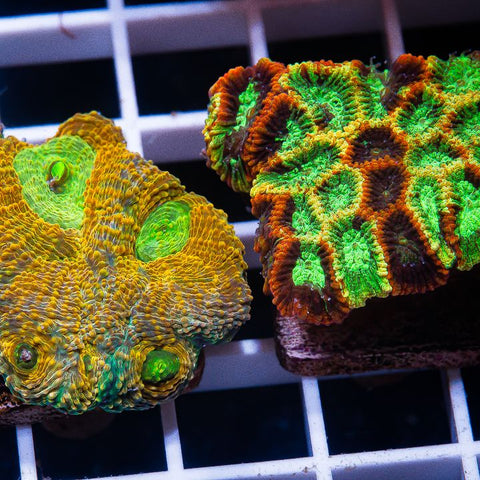 2 Piece LPS Frag Pack Featuring Pineapple Express Micro Lord  - 2 Different WYSIWYG Frags