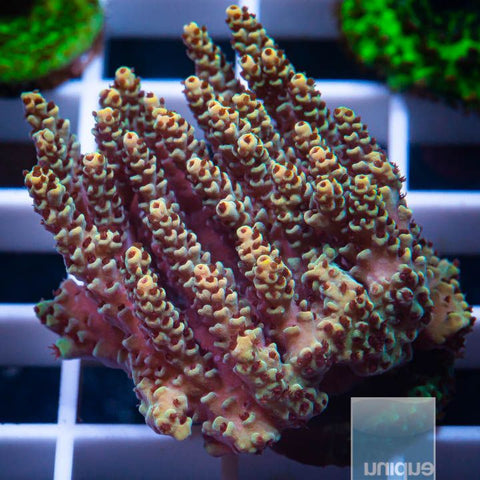 "Acropora sp.  -   Ultra Table Acro - 1"" WYSIWYG Frag"