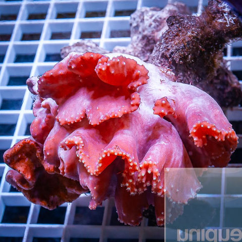 "Sinularia dura  - Pink Cabbage Leather Coral - 3"" WYSIWYG Colony"