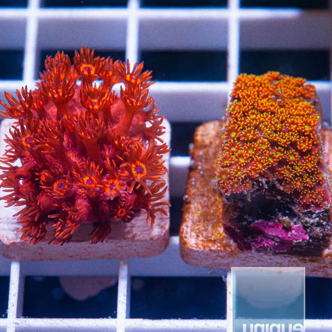 2 Piece Insane Goni Frag Pack - 2 Different WYSIWYG Frags