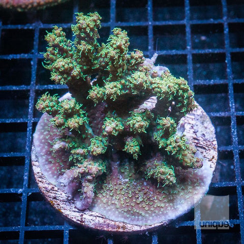 "Acropora sp. -  Maricultured Acro - 3"" WYSIWYG Colony"