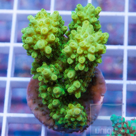 "Acropora sp. - Colorful Tabling Acro - 1.5"" WYSIWYG Frag"
