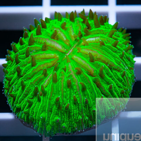 "Fungia sp.  -   Green Plate Coral - 1"" WYSIWYG Specimen"