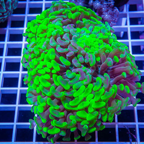 "Euphyllia sp. -  Toxic Splattered Hammer - 4"" WYSIWYG Colony"
