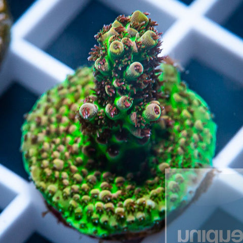 "Acropora sp.  -  UC Red Knockout - 3/4"" WYSIWYG Frag"