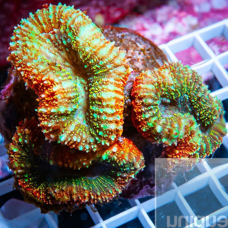 "Lobophyllia sp.  -  Rainbow Lobo  - 4"" WYSIWYG Colony"