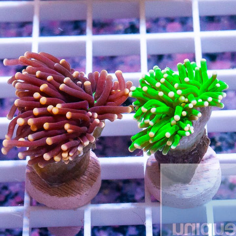 2 Piece Torch Frag Pack - 2 Different WYSIWYG Frags