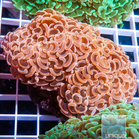 "Euphyllia  sp. -  Orange Hammer Coral - 2"" WYSIWYG Large Frag"