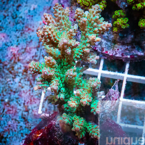 "Acropora sp.  -  Maricultured Acro  -   3.5"" WYSIWYG Colony"