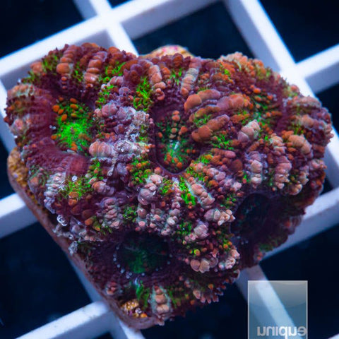 "Micromussa lordhowensis -   Striped Micro Lord - 1"" WYSIWYG Frag"