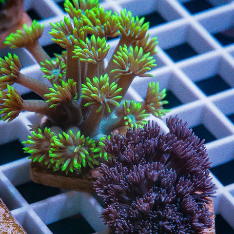 2 Piece Goni Frag Pack - 2 Different WYSIWYG Frags