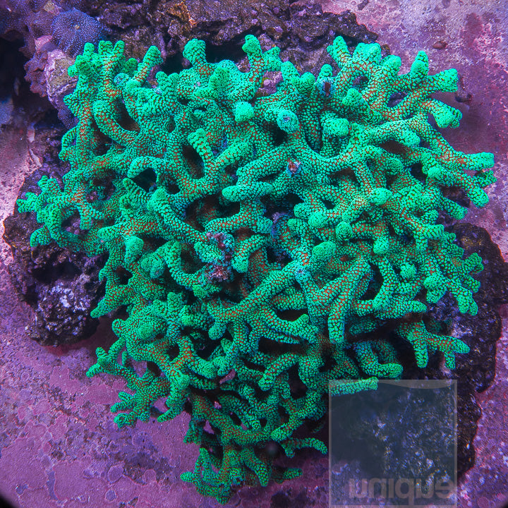 "Seriatopora sp. - Thick Branched Green Birdsnest Coral - 1.5"" Stock Frag"