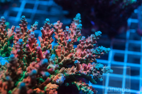 "Acropora-  UC JD Jr. 1"" Stock Frag"