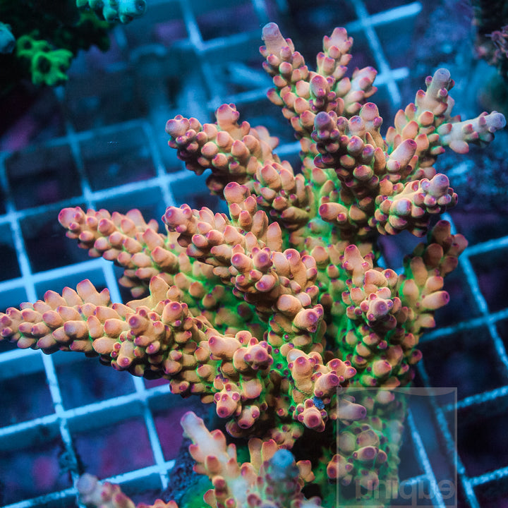 "Acropora Granulosa-  UC Game Over Granulosa 1"" Stock Frag"