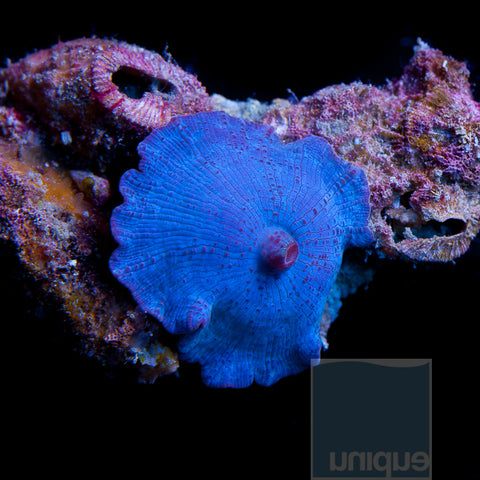 "Discosoma sp.  Blue Discosoma mushroom- 1"" Single Polyp  Stock  Frag"