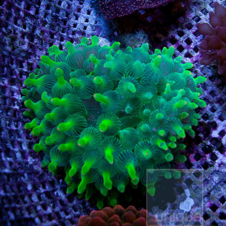 "Entacmaea quadricolor -  Beautiful Green Bubble Tip Anemone - Approx. 2""-3"" Stock Specimen"