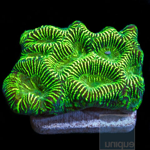 "Favia sp. - Metallic Green favia - 1""  Stock  Frag"