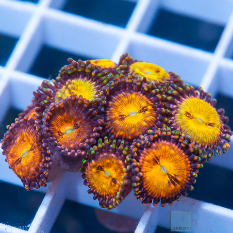 Palythoa sp.  -  Cinnamon Apple Palys - Stock Frag 1 to 3 Polyps