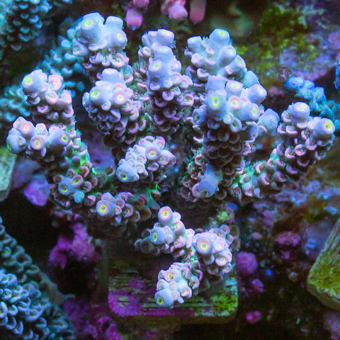 "Acropora Tenuis  - Tank Hardened Rainbow Tenuis Colony - 3.5"" WYSIWYG Colony"