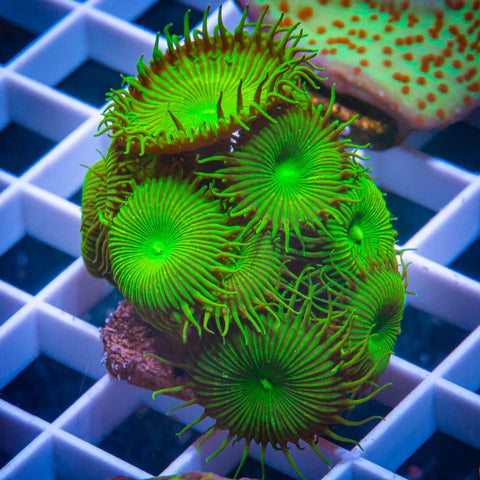Palythoa sp.  -  Green Button Palys -  5 to 7 Polyps Stock Frag