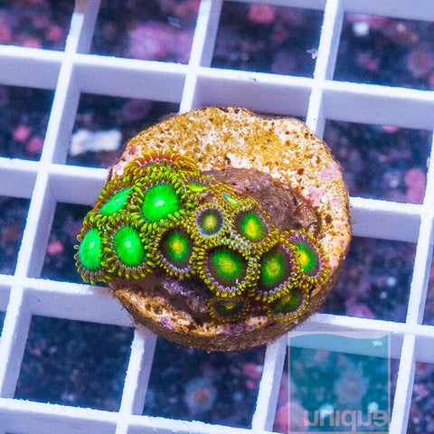 "Zoanthus sp.  - Colorful Zoanthids - 1"" WYSIWYG Frag"