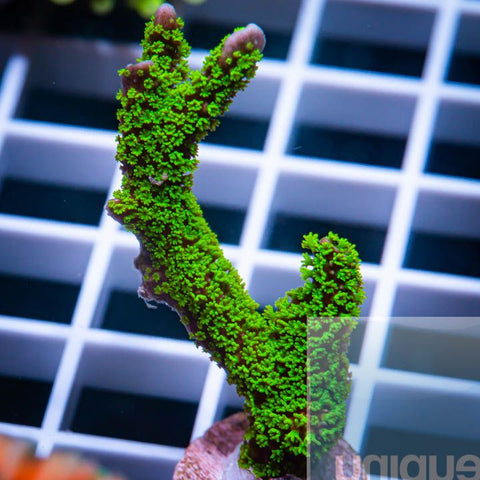 "Montipora digitata -  Green Digitata - 1"" WYSIWYG Frag"