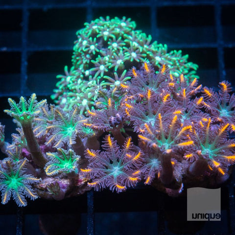 3 Piece Softy Frag Pack - 3 Different Softy Frags