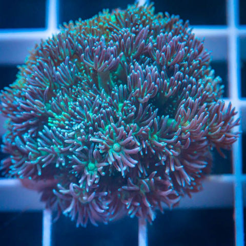 "Goniopora  sp.  -  Teal Goni - 1"" Stock Frag"