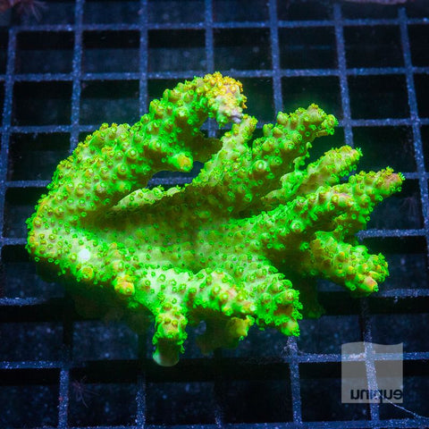 "Acropora sp. -  Maricultured Slytherin Staghorn Acro - 3"" WYSIWYG Colony"