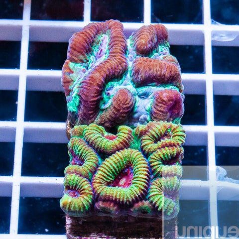 2 Piece Ultra LPS Frag Pack - 2 Different WYSIWYG Frags