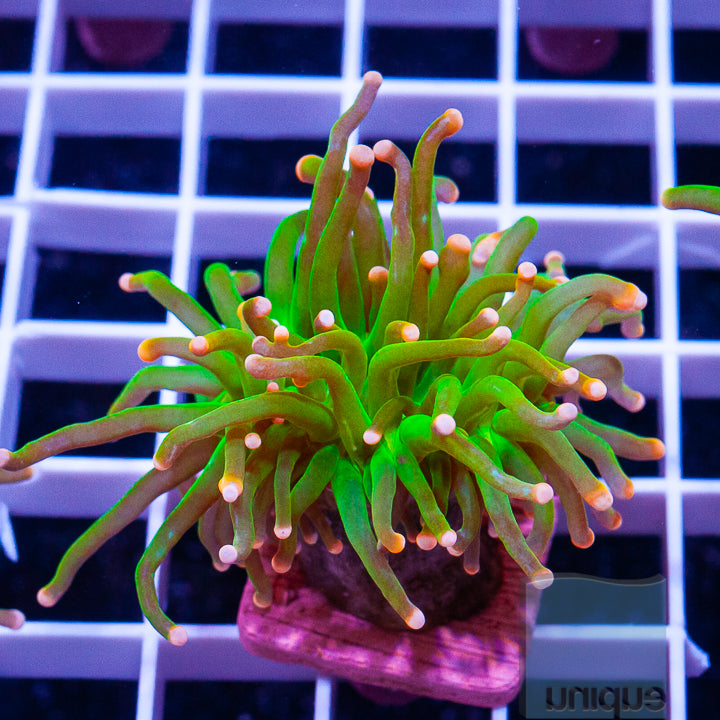 "Euphyllia glabrescens  - Cotton Candy Torch - 2"" Stock Frag"