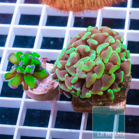 2 Piece Euphyllia Frag Pack  - 2 Different WYSIWYG Frags