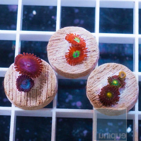 3 Piece Palythoa Frag Pack Featuring Superman Paly - 3 Different WYSIWYG Frags