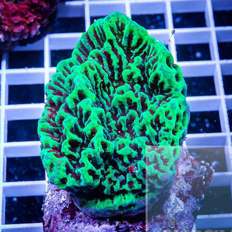 "Montipora sp.  -  Maricultured Monti -  3.5"" WYSIWYG Colony"