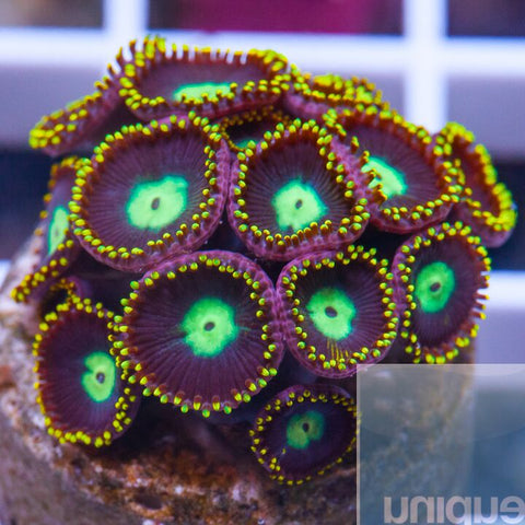 Palythoa sp.  -  Crown Royal Palys - WYSIWYG Frag