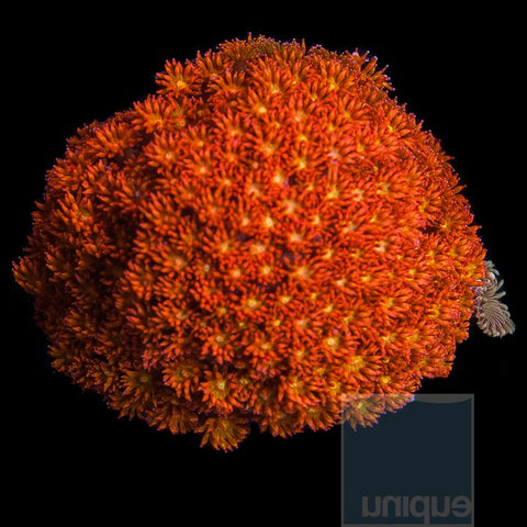 "Goniopora sp. 1"" Orange Crush Goniopora Stock Frag"