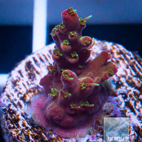 "Acropora sp.  -   Voodoo Magic Acro -  3/4"" WYSIWYG Frag"