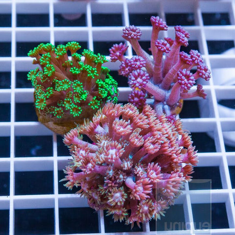 3 Piece Goniopora Frag Pack - 3 Different WYSIWYG Frags