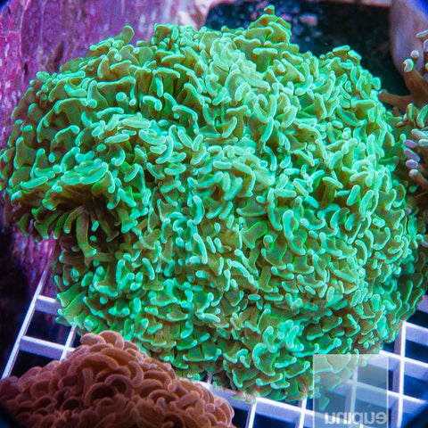 "Euphyllia  sp. -  Green Hammer Coral  - 4"" WYSIWYG Colony"