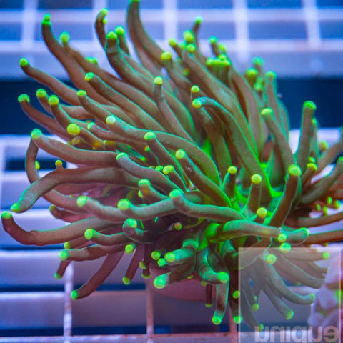 "Euphyllia glabrescens - Yellow Tip Torch Coral - 3"" WYSIWYG Colony"