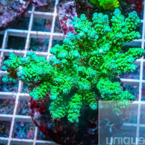 "Acropora sp.  -  Maricultured Acro  -   6"" WYSIWYG Colony"