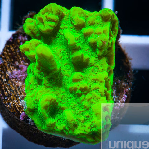 "Montipora sp. -  Electric Melon Montipora - 3/4"" Stock Frag"