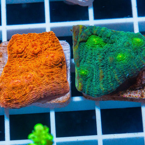 2 Piece Echinophyllia Frag Pack  - 2 Different WYSIWYG Frags
