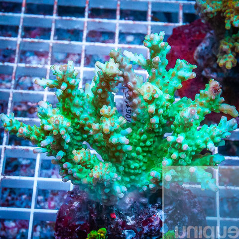 "Acropora sp.  -  Maricultured Acro  -  4"" WYSIWYG Colony"