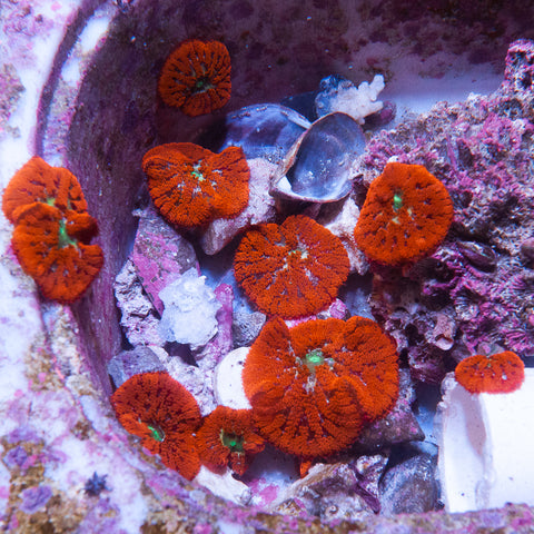 "Stichodactlyla tapetum- ""Mini"" Red Carpet Anemone - 1- 1.5"" Stock Specimen"