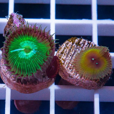 2 Piece ProtoPalys Frag Pack - 2 Different WYSIWYG Frags