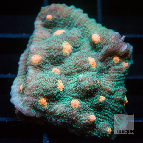 "Echinophyilla sp.  -  Orange Eye Chalice - 1"" WYSIWYG Frag"