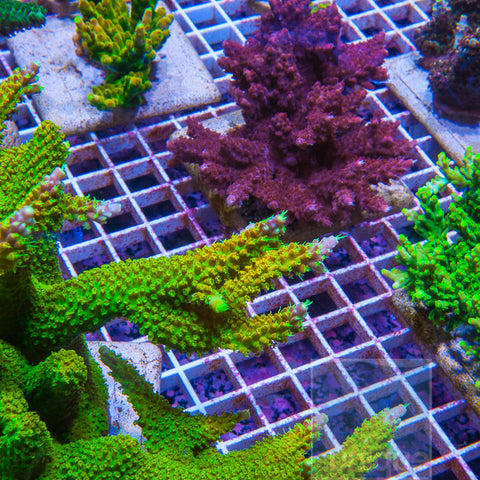 "Acropora sp.-  UC Slytherin Stag  1"" Stock Frag"