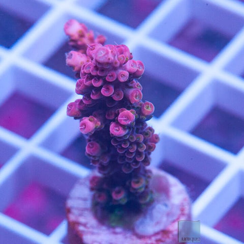 "Acropora sp.  -  UC Red Knockout Acro - 2"" WYSIWYG Large Frag"